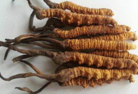 гриб Ярсагумба