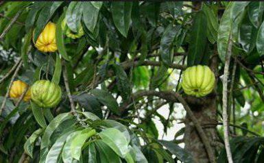 Растение гарциния